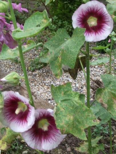 Hollyhock alcea rosea (Hollyhock alcea rosea)