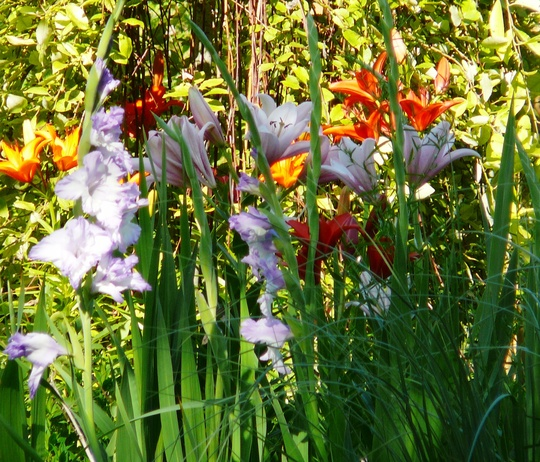 Gladioli and lilies from a different perspective. (Gladiolus grandiflorus)