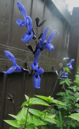 Salvia Guaranitica 'Black & Blue'