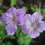 Geranium nodosum 'Hexham Big Eyes' (Geranium nodosum)