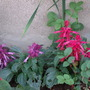 Red and Purple Salvia
