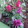 Red & Purple Salvia