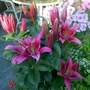 Glorious Lilies  Star Gazer