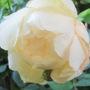 Iceberg_rose
