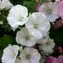 Beautiful White Lavertera.
