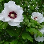 Hibiscus_syriacus_red_heart_2012