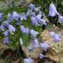 Scottish Harebell (Campanula rotundifolia (Harebell))