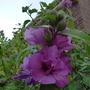 Hibiscus_syriacus_lady_bracknell_2012