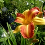 Hemerocallis 'Franz Hals' by the pond... (Hemerocallis)