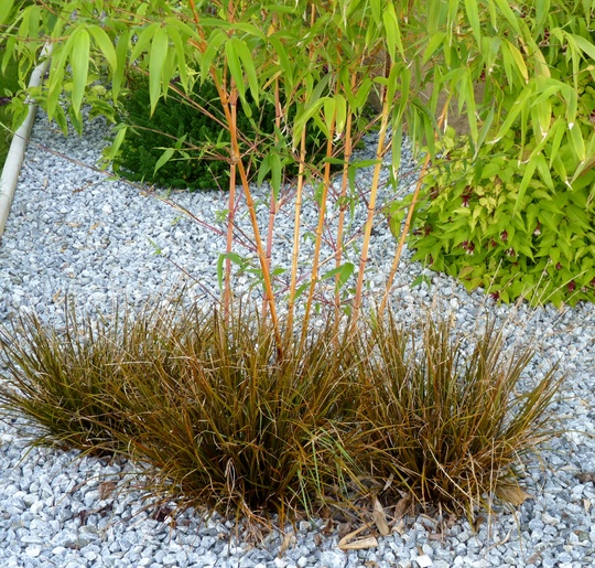 Uncinia Rubra planted at the foot of Phyllostachys Bamboo (Uncinia Rubra)