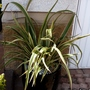 Phormium in pot in front of my garage... (Phormium cookianum (Mountain flax))