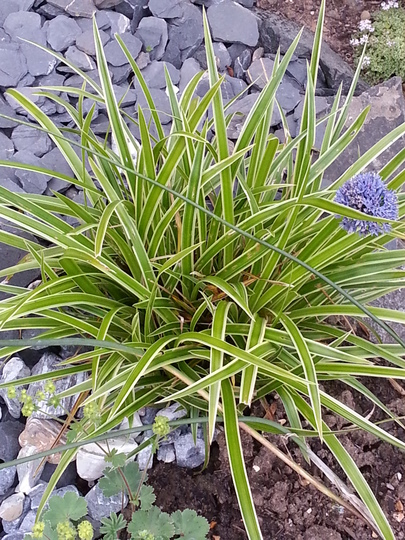 Carex morrowii 'Ice Dance' (Carex morrowii)