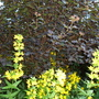 Yellow Loose strife and Physocarpus