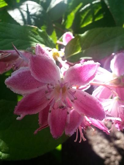 Deutzia x hybrida 'Strawberry Fields' (Deutzia x hybrida 'Strawberry Fields')