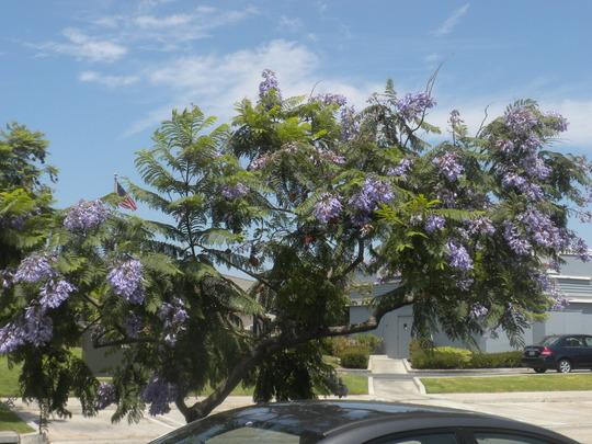 Jacaranda mimosifolia - Jacaranda Tree Flowering (Jacaranda mimosifolia - Jacaranda Tree)