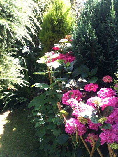 hydrangea loving the wet summer