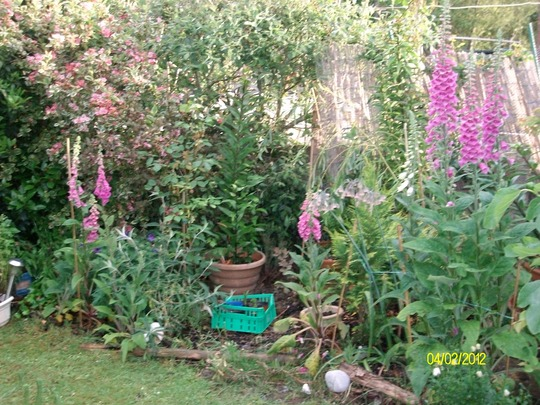 lovely foxgloves and weigelia in background