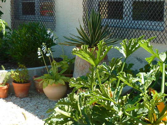 Courgette triffids with yucca and hostas