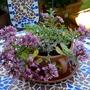 Sedum spurium 'Tricolor' (Sedum spurium 'Variegatum/tricolor')