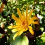 Ligularia dentata 'Desdemona' (Ligularia dentata (Golden groundsel))