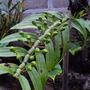 Orchid buds ( May Be Dendrobium)