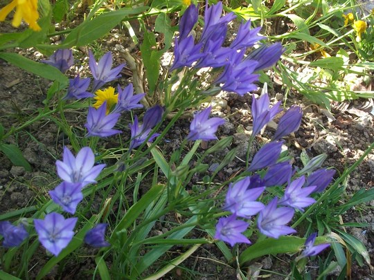 Brodiaea laxa 'Queen Fabiola' usually flower in June, but did not  plant till late spring  (Brodiaea laxa)