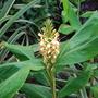 Hedychium densiflorum 'Stephen' (Hedychium 'Tara')