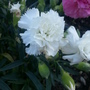 Dianthus &#x27;Artic Star&#x27; (Dianthus)