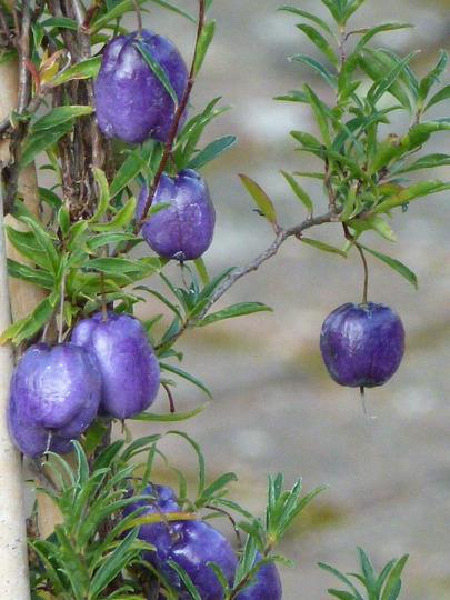 Billardiera ' Longiflora '