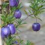 Billardiera_longiflora_1