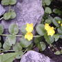 Creeping Jenny in bloom (Lysimachia nummularia (Creeping jenny))