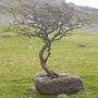 natural bonsai tree! (?)