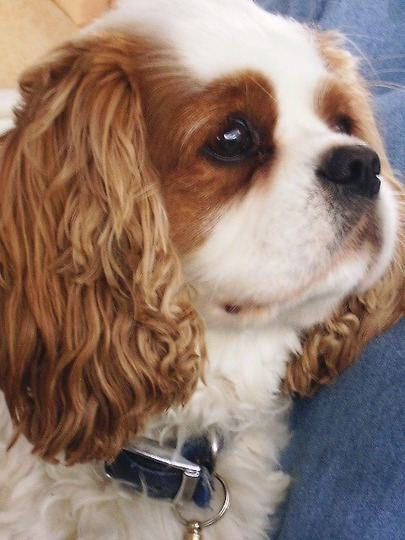 A lovable rascal.... (cavalier king charles dog......)