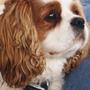 A lovable rascal.... (cavalier king charles dog......)