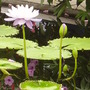 vibrant blue water lily (water lily.....?)