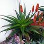 Aloe rupestris (Aloe rupestris)