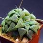 Haworthia in collection (Haworthia magnifica var. acuminata)