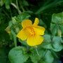 Monkey musk (Mimulus guttatus (Common Large Monkey Flower))