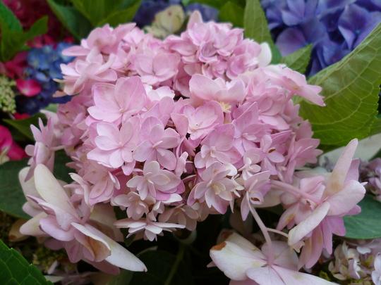 Hydrangea macrophylla pale pink double lace flowers
