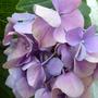 Hydrangea macrophylla pink/lilac/blue