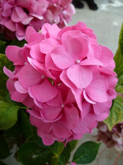 Hydrangea macrophylla very pink