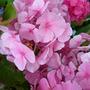 Hydrangea macrophylla pale pink with darker veining