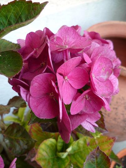 """Hydrangea macrophylla """"Sanguinea"""""""