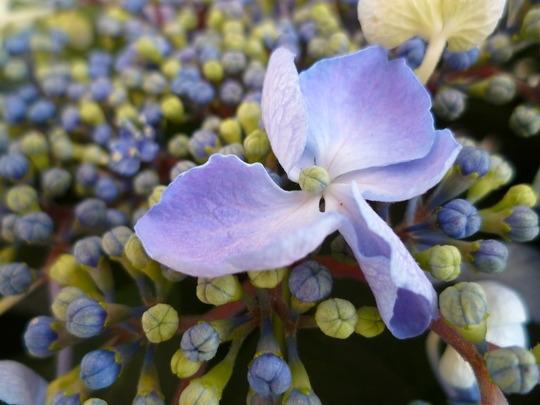 Hydrangea macrophylla blue lace-cap