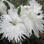 fringey petalled pinks (white) lol (Dianthus monspessulanus (Fringed pink))