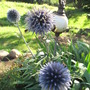 Echinops ritro