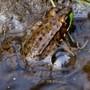 basking frog