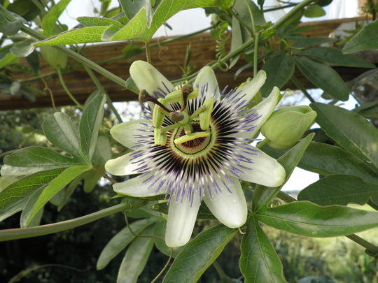 More passion flowers -2