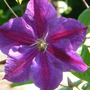 Clematis_star_of_india_