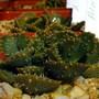 Aloinopsis (succulent) (Aloinopsis malherbei)